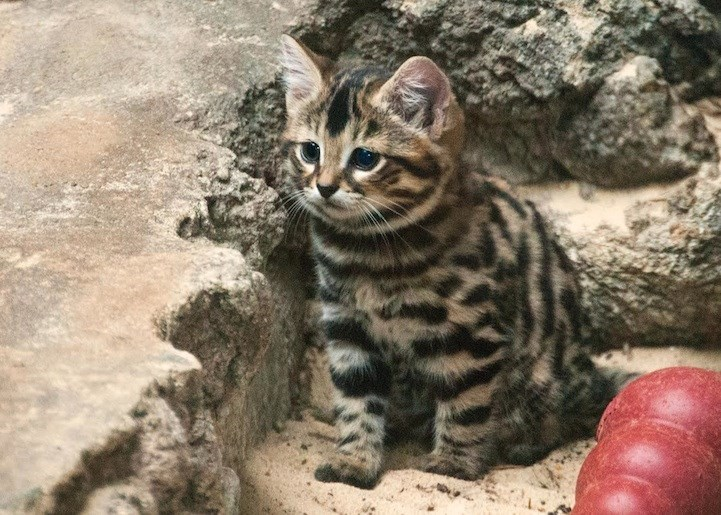 4_black_footed_cat
