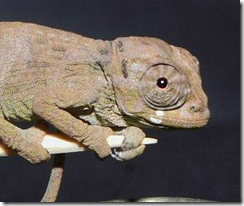 Johnston's chameleon