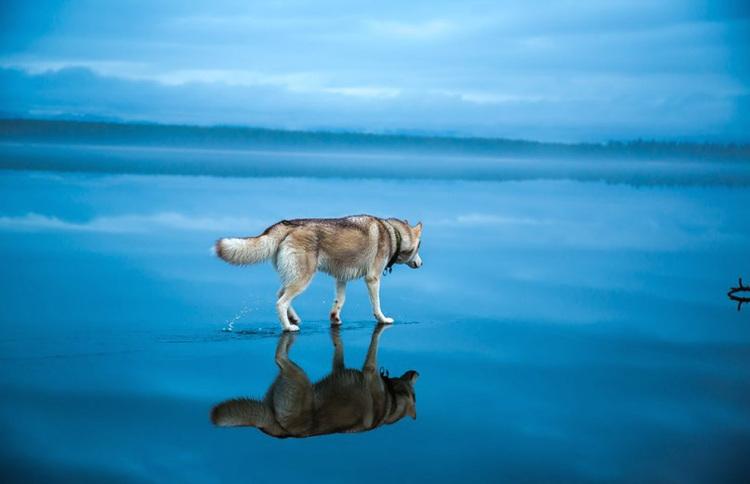 Siberian-Husky-on-a-Frozen-Lake-2.jpg