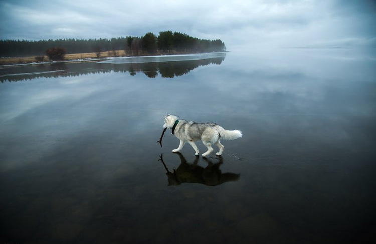 Siberian-Husky-on-a-Frozen-Lake-4.jpg