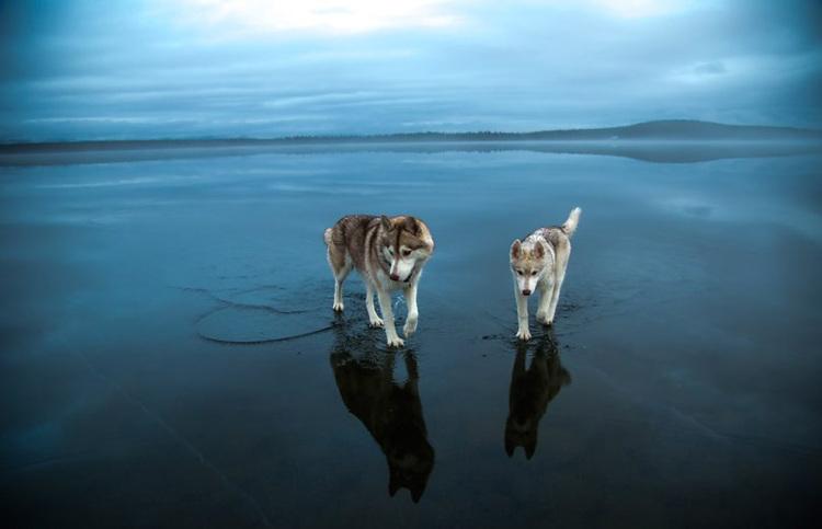 Siberian-Husky-on-a-Frozen-Lake-6.jpg