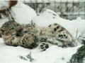 snow_leopard4