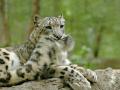snow_leopard5