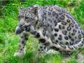 snow_leopard6