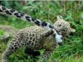 snow_leopard7