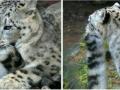 snow_leopard8