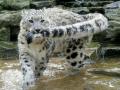 snow_leopard9