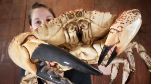 Tasmanian Crab