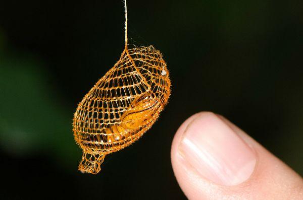 Urodid Moth Cocoon
