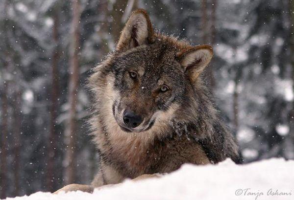 sheeple_wolf