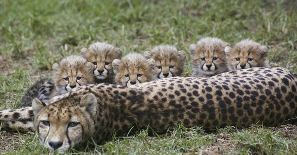 6_cheetah_cubs