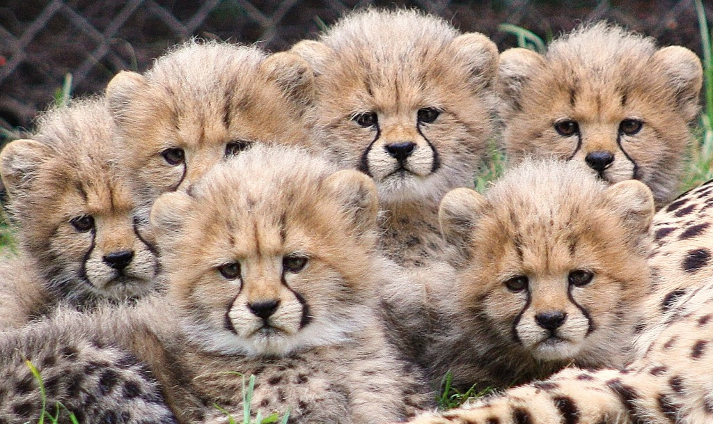 6_cheetah_cubs2